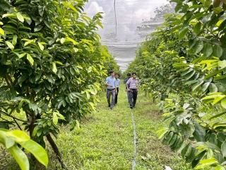 Lộc Ninh: Ra mắt Tổ hợp tác trồng mãng cầu xiêm hoa vàng