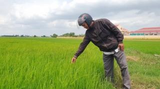 Vẫn còn tình trạng lúa giống trôi nổi, không rõ nguồn gốc