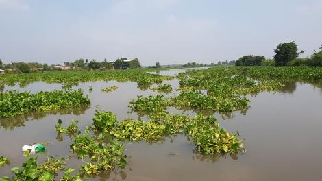 Lục bình trên sông Vàm Cỏ Đông chết hàng loạt