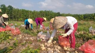 Trồng xen canh củ đậu trong vườn cây ăn trái mang lại hiệu quả kinh tế cao