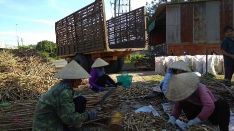 Tây Ninh: Nhân giống mở rộng 2 giống mì có khả năng kháng bệnh khảm lá cao