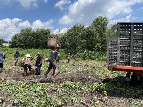 Tây Ninh: Người trồng mì trúng mùa, được giá