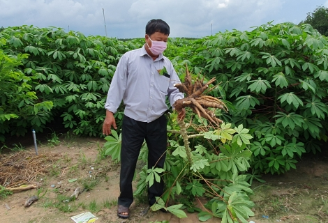 Tây Ninh: Đẩy nhanh nhân giống mì kháng bệnh khảm lá cung cấp cho nông dân