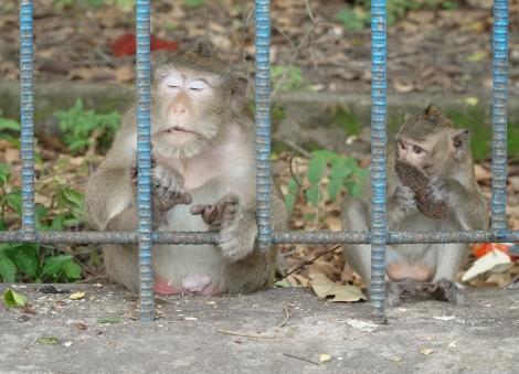 Cứu đói cho… khỉ