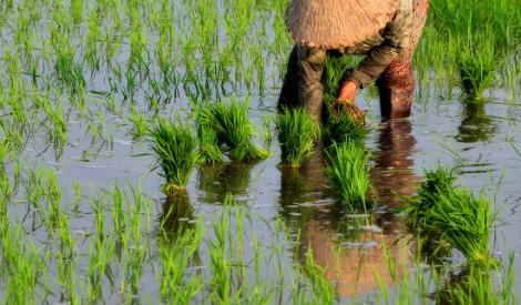 Tháng sáu cấy lúa ruộng gò