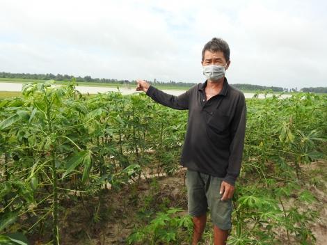 Nông dân lo lắng không có nhân công thu hoạch củ mì trên vùng bán ngập
