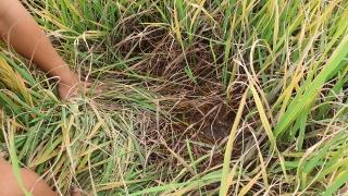 Ninh Điền: Nhiều diện tích lúa bị vàng lá, khô lá bất thường