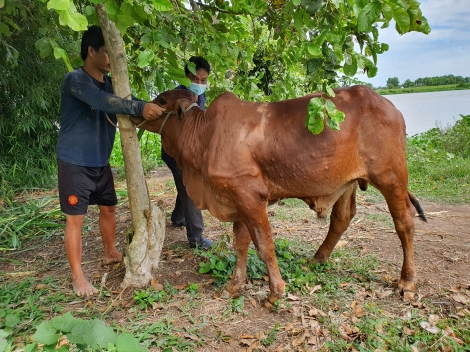 Dịch Viêm da nổi cục trên trâu, bò xuất hiện trở lại tại Tây Ninh
