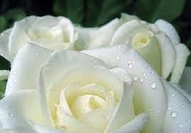 Những bông hồng trắng...