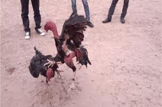 Công an xã Trí Bình, Châu Thành: Xử phạt vụ tổ chức đá gà giữa mùa dịch