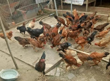 Hiệu quả nuôi gà bằng thức ăn ủ men vi sinh