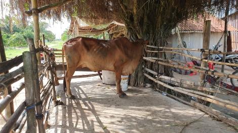 Gần 42.000 con trâu, bò được tiêm vaccine phòng bệnh viêm da nổi cục