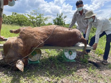 Tiêm hơn 1.000 liều vaccine phòng bệnh viêm da nổi cục trâu, bò