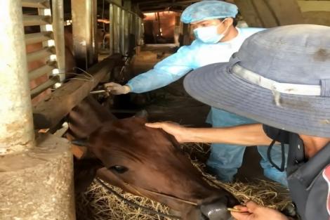 Đẩy nhanh tiến độ tiêm phòng vaccine viêm da nổi cục cho đàn trâu, bò