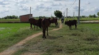 Người chăn nuôi chủ động tiêm vaccine phòng bệnh viêm da nổi cục cho đàn trâu, bò