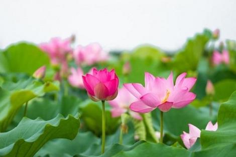 Ngày hoa nở rộ