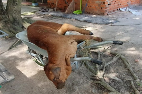 Người chăn nuôi phải chủ động tiêm vaccine phòng bệnh cho đàn trâu, bò
