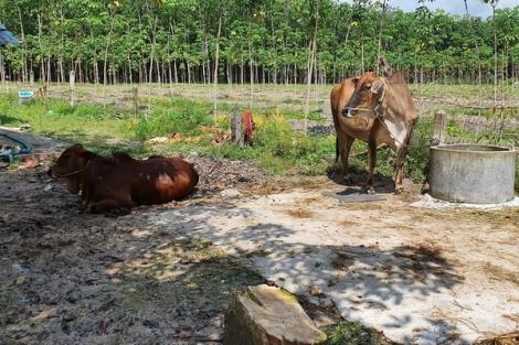 """Tân Biên: """"Dịch chồng dịch"""" khiến người chăn nuôi lao đao"""