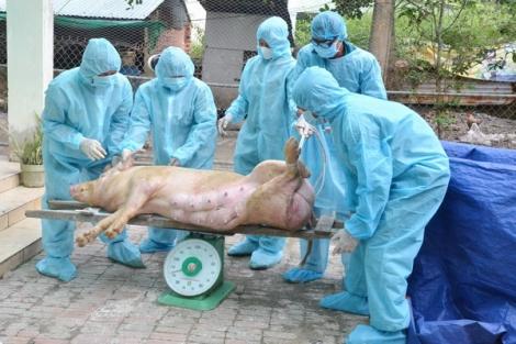 Tân Châu: Tiêu hủy 23 con heo bị bệnh dịch tả heo Châu phi
