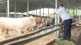 Đã kiểm soát được dịch viêm da nổi cục trên bò